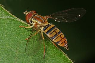 Syrphid - Toxomerus politus, Laurel Hill Park, Lorton, Virginia