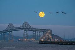 Flying over the moon (FollowingNature (Yao Liu)) Tags: bird moonshot bayarea california moonrise followingnature bridge fullmoon birdsoverthemoon