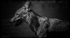 Histoire d'eau....... (Pilouchy) Tags: histoire animal story chemin monochrome lumiere life vie regard eyes blackandwhite jeux free wild gris grey