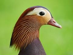 Mandarin duck (PhotoLoonie) Tags: mandarinduck mandarinduckmale waterbird waterfowl wildlife nature colours colorful feathers perchingduck aixgalericulata britishwildlife bird duck plumage portrait