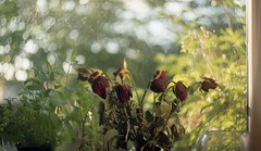 (Mrs.Black&White) Tags: flowers zenitb helios44258mmf2 tetenalc41 kodak kodacolor200 35mmfilm handprocessed