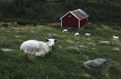 Norway 2018 (amanecer334) Tags: norway norge norske mountains landscapemountainsroad sheep animal moody dark nature landscape hike scandinavia cabins folk fjell fjord green norwegia noruega