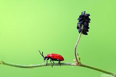 Red Alert (Vie Lipowski) Tags: scarletlilybeetle leaflilybeetle redlilybeetle liliocerislilii medicagolupulina blackmedick nonesuch hopclover insect beetle bug pest weed seed wildflower wildlife nature macro
