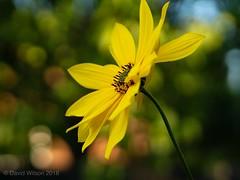 Last Summer Sun (David S Wilson) Tags: uk floral davidswilson fens lumixg17425 lrcc flower cambridgeshire lumixdmcgm5 2018 flowers lumixgm5 flowersplants ely england