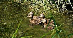 Little orphans. (Dan A. Cetinic.) Tags: sony ducks birds