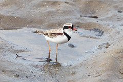 Black-fronted Dotterel (RoosterMan64) Tags: australia australiannativebird bird blackfronteddotterel cairns nature queensland wildlife