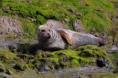 Common Seal 115917 (wildlifetog) Tags: southeast seal nature newtown reserve isleofwight uk mbiow marsh blackmore britishisles britain wild wildlife canon coast coastal england european martin common