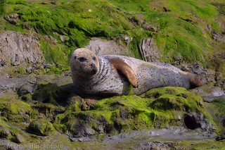 Common Seal 115917