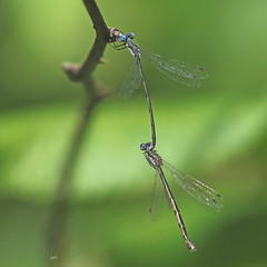 Couple de Lestes tardifs / Pair of Spotted Spreadwings (alainmaire71) Tags: insecte insect odonata odonate damselfly demoiselle lestidae leste spreadwing lestescongener lestetardif spottedspreadwing nature quebec canada bokeh