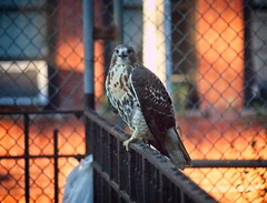 Tompkins Square red-tail fledgling (Goggla) Tags: fledgling a2 nyc new york east village tompkins square parkurban wildlife bird raptor red tail hawk 2 fence