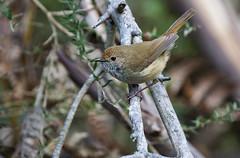 Brown Thornbill (James_Preece) Tags: brownthornbill acanthizidae m43 acanthizapusilla panasonicdcgh5 leicadgvarioelmar100400mmf463asphpoweroislens