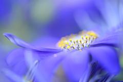 Purple Strokes (setoboonhong) Tags: nature flower cineraria purple yellow stamens petals pollen macro depth field blur bokeh fitzroy garden conservatory melbourne