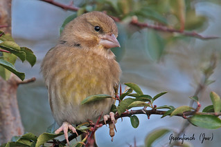 GREENFINCH  (Juv.)  // CARDUELIS  CHLORIS (14cm)