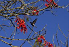 Céu de azul profundo (Márcia Valle) Tags: inverno nature natureza brasil brazil interiordobrasil florabrasileira brazilianflora márciavalle nikon winter d5100 hummingbird beijaflorpreto beijaflor bird ave