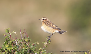 Whinchat - Chipping sodbury Common