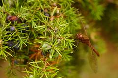 Bärande kvist (tusenord) Tags: odonata anisoptera enbär en sympetrum ängstrollslända trollslända natur dragonfly fs180909 fotosondag sensommar insekter nature