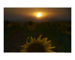 (david Ramalleira) Tags: davidramalleira davidramalleiraphotography nikon sunflower sunflowers sunset atardecer nature naturaleza natureart naturephotography naturesfinest naturesart natura luz light sun girasol girasoles summer verano ocaso