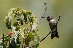 The guarder of the hummingbird feeder at his post (Lynn Tweedie) Tags: beak tail wing rubythroatedhummingbird canon ngc animal male 7dmarkii tree bird sigma150600mmf563dgoshsm green eye missouri feathers eos