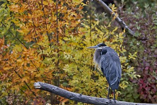 Great Blue Heron Posing