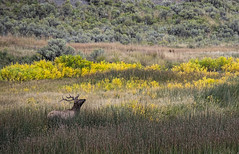 Bull elk - Yellowstone National Park (LaurieD326) Tags: elk bull antlers bullelk mammal mammals mammalsofnorthamerica northamericanwildlife wildlife outdoors yellowstonenationalpark animal animals wildanimals autumn