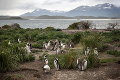 Magellanic penguins, Ushuaia, Argentina (pas le matin) Tags: water animal ocean landscape paysage world travel eau bird herbe grass oiseau sky ciel mountain voyage montagne manchot penguin magellanicpenguin manchotdemagellan canon 5d canon5dmkiii 5dmkiii eos5dmkiii canoneos5dmkiii argentina argentine terredefeu tierradelfuego patagonie patagonia ushuaia