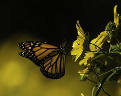 ChildrenoftheSun_SAF9895 (sara97) Tags: danausplexippus butterfly copyright©2018saraannefinke insect missouri monarch monarchbutterfly nature photobysaraannefinke pollinator saintlouis towergrovepark urbanpark