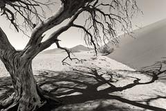 Limbs and Shadow _3806-2 (hkoons) Tags: namibsandsea namibnaukluftnationalpark sanddunesea sesriemgate southernafrica africa african namibia sesriem tree unesco dune dunes growth plants sand sandy shadow vegetation