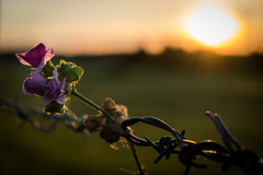 A Rose Between Two Thorns ... (vanessa violet) Tags: pink fence friday barb barbwire hff fencefriday happyfencefriday thinkpink flower sunset arosebetweentwothorns