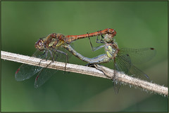 Common Darter (image 1 of 2) (Full Moon Images) Tags: rspb fen drayton lakes wildlife nature reserve cambridgeshire insect macro common darter mating male female dragonfly