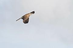 A7308872_DxO (jackez2010) Tags: ilce7m3 fe100400mmf4556gmoss bif birdinflight fauconcrécerelle
