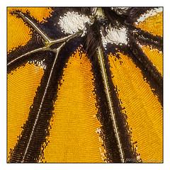 Monarch Wing Detail (GAPHIKER) Tags: monarch chrysalis danausplexippus pupa caterpillar butterfly insect animal metamorphosis milkweed milk weed detail scales