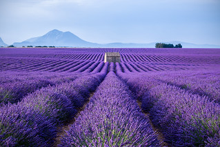 Waves of lavender 2 (Provenza)