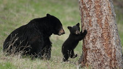 Treetime (Hammerchewer) Tags: blackbear bear sow cub animal wildlife outdoor yellowstone