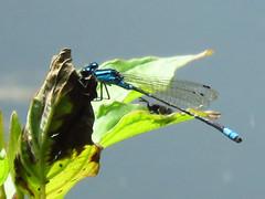 Damselfly IMG_0454 (Jennz World) Tags: ©jennifermlivick mountpleasantnaturepark mountpleasant ontario canada dragonfly damselfly caterpillar butterfly