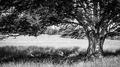 Le Vieux Hêtre (Décl'ike) Tags: hêtre végétaux natureetpaysages noiretblanc stagephoto montagnedelure techniquephoto lieux montagne arbres paysages evènements