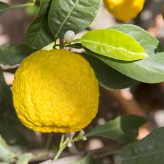 Giardino dei Semplici, botanical garden (Hans van der Boom) Tags: vacation holiday italy tuscany florence firenze girdino semplici botanical garden citrus lemon fruit it