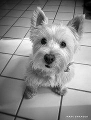 Focus (mswan777) Tags: food cute indoor west highland white terrier eyes fur michigan stevensville apple iphoneography iphone mobile monochrome black paw ear nose