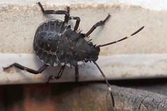 Halyomorpha halys - 24 VIII 2018 (el.gritche) Tags: heteroptera france 40 garden pentatomidae halyomorpha halys halyomorphahalys larva