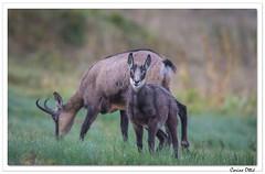 Le p'tit dèj du jeune Chamois. (C. OTTIE et J-Y KERMORVANT) Tags: nature animaux mammifères chamois vosges france