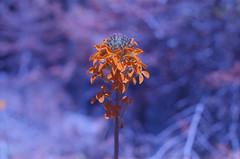 . (m_travels) Tags: flower plants nature плёнка argentique filmphotography expiredfilm 35mm film purple