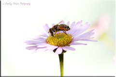 HOVERFLY ON THE DAISY (DRAGONFLY ADICT) Tags: insects bugs wildlife hoverflies garden flowers
