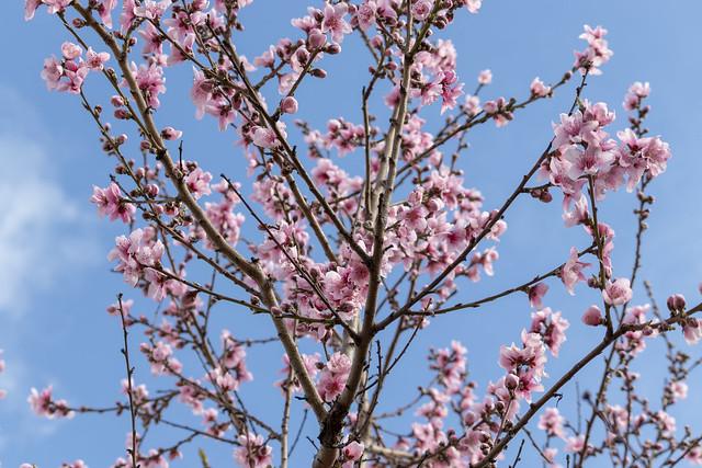 Peach Flower Tree