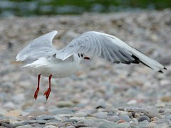 Black-headed Gull (chdphd) Tags: stonehaven aberdeenshire kincardineshire chroicocephalusridibundus chroicocephalus