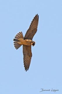 Falco subbuteo Faucon hobereau Eurasian Hobby Alcotán Europeo Baumfalke