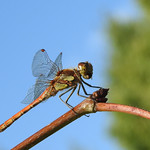 Out of the Blue: Common Darter. thumbnail