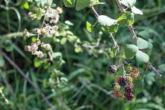 Ψίνθος (Psinthos.Net) Tags: ψίνθοσ psinthos nature countryside september autumn σεπτέμβρησ σεπτέμβριοσ φθινόπωρο εξοχή φύση πρωί πρωίφθινοπώρου φθινοπωρινόπρωί morning φώσ σκιά light shadow sunlight φώσήλιου φώσηλίου κοιλάδα κοιλάδαψίνθου κοιλάδαψίνθοσ valley psinthosvalley leaves φύλλα brambles βάτοι βάτα βάτοσ bramble wildfruits fruits φρούτα άγριαφρούτα blossoms άνθη μώβάνθη purpleblossoms pollen γύρη μπουμπούκια buds