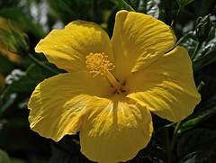 Big Yellow (ACEZandEIGHTZ) Tags: closeup hibiscus nikon d3200 yellow garden coth coth5 naturethroughthelens sunray5 exquisiteflowers