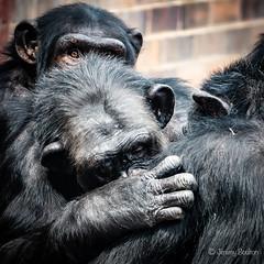 Grooming sesh (JKmedia) Tags: chimpanzee chimp ape monkey boultonphotography 2018 chesterzoo primate