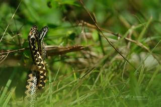 Epic Asp viper males fight