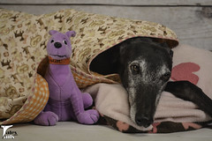Undercover Hound (houndstooth4) Tags: dog greyhound flattery dogchal ddc 3652 52weeksfordogs